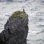 Atlantic Drive: cormorant